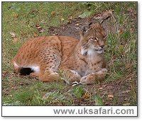Lynx - Photo � Copyright 2005 Gary Bradley