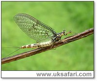 Mayfly - Photo � Copyright 2004 Gary Bradley