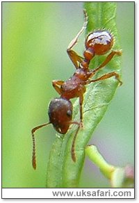 Ant (Myrmica rubra) - Photo � Copyright 2004 Gary Bradley
