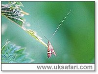 Longhorn Moth - Photo � Copyright 2002 Gary Bradley