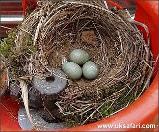 Blackbird Nest - Photo � Copyright 2005 Dean Stables