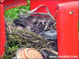 Blackbird Chicks - Photo � Copyright 2005 David Williams