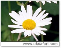 Ox-Eye Daisy - Photo � Copyright 2000 Gary Bradley
