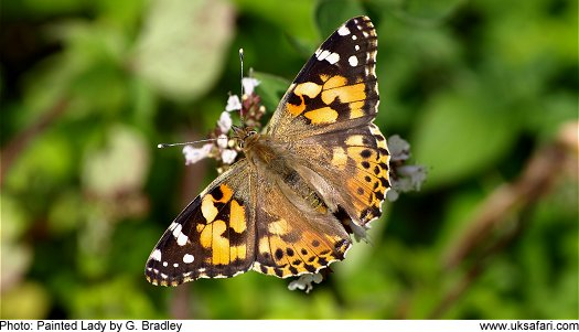 Painted Lady Butterfly © Copyright 2009 G. Bradley