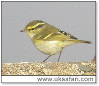 Pallas's Warbler - Photo � Copyright 2004 Gary Vause