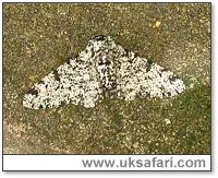Peppered Moth - Photo � Copyright 2005 Ray Kelly