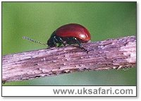 Poplar Leaf Beetle - Photo � Copyright 2002 Gary Bradley