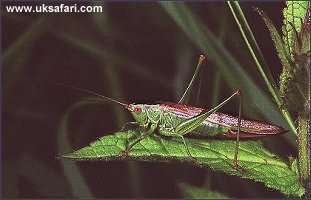 Field Cricket - Photo � Copyright 2002 Sue North