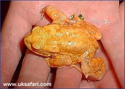 Albino Toad - Photo � Copyright 2002 Roy Gostling