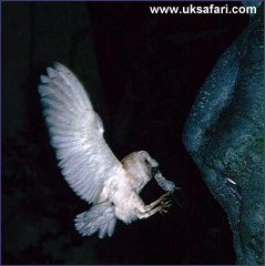 Barn Owl - Photo � Copyright 2002 Martin Bailey