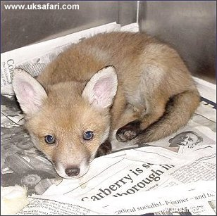 Fox Cub - Photo � Copyright 2002 Christine Lindsay