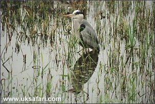 Grey Heron - Photo � Copyright 2002 Nicole Burgum