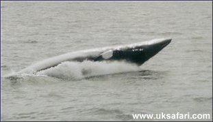 Minke Whale - Photo � Copyright 2002 Leslie Gadsden