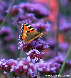 Small Tortoiseshell - Photo � Copyright 2002 Margaret Barton