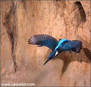 Kingfisher - Photo � Copyright 2002 - Tom Finlay