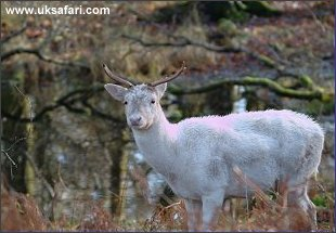 White Red Deer - Photo � Copyright 2003 John Kelly