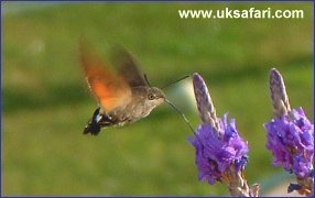 Humming-Bird Hawk-Moth - Photo � Copyright 2003 Dilys Boot
