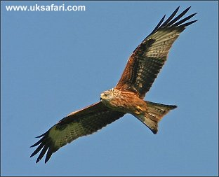 Red Kite - Photo � Copyright 2005 Kelvin Dean