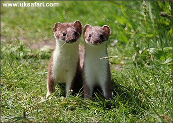 Stoats - Photo � Copyright 2006 Dean Eades