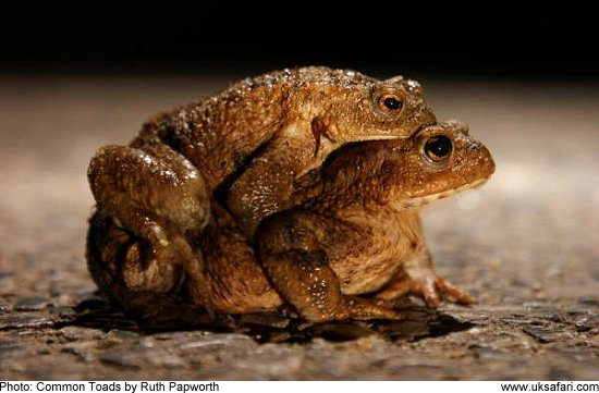 Common Toads - Photo © Copyright 2009 Ruth Papworth