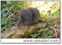 Pygmy Shrew - Photo � Copyright 2003 Gary Bradley