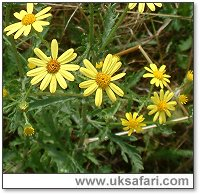 Ragwort - Photo � Copyright 2003 Gary Bradley