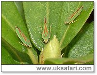 Rhododendron Leafhoppers - Photo � Copyright 2003 Gary Bradley