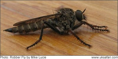 Robber Fly - Photo � Copyright 2008 Mike Lucie