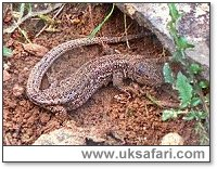 Sand Lizards - Photo � Copyright 2001 Gary Bradley