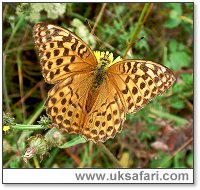 Silver-Washed Fritillary - Photo � Copyright 2006 Gary Bradley