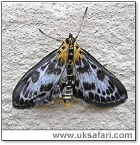 Small Magpie Moth - Photo � Copyright 2007 Perry Lambert