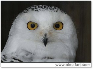Snowy Owl - Photo © Copyright 2007 Robin Ward