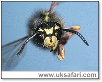 Wasp - Photo � Copyright 2001 Gary Bradley