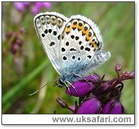 Silver-Studded Blue - Photo � Copyright 2006 Kate Dent / BBOWT