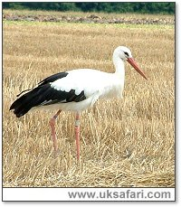 Stork - Photo � Copyright 2005 Gary Bradley