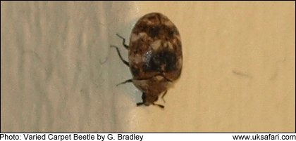 Photo: Varied Carpet Beetle - � Copyright 2009 G. Bradley