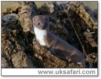 Weasel - Photo � Copyright 2003 - Andy Darrington