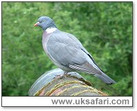 Wood Pigeon - Photo � Copyright 2003 Gary Bradley