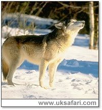 Wolf - Photo � Copyright 2005 The Wolf Pack