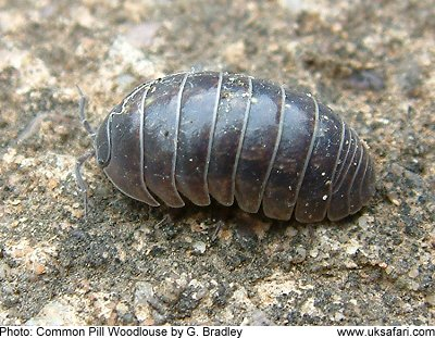 woodlice photo