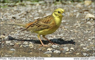 Yellowhammer - Photo � Copyright 2008 Dick Roberts