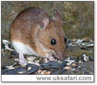 Yellow-Necked Mouse - Photo � Copyright 2003 Gary Bradley