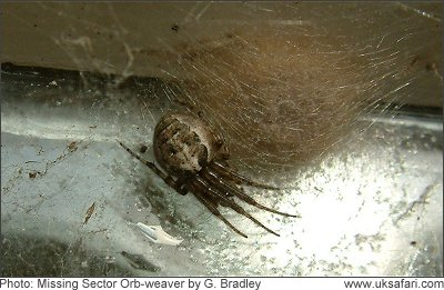 Female Missing Sector Spider - Photo � Copyright 2008 G. Bradley