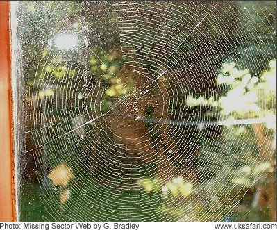 Missing Sector Spider Web - Photo � Copyright 2008 G. Bradley