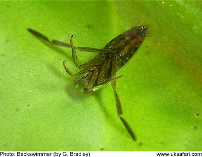 how to fish water boatman