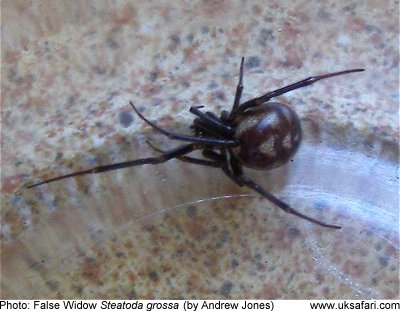 False Widow Spiders Steatoda Grossa Uk Safari