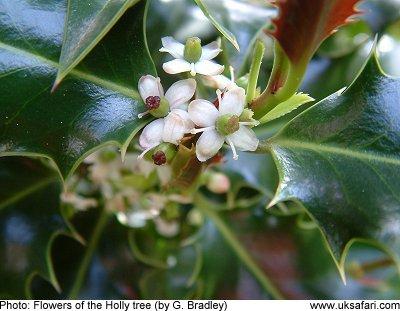 Holly Trees Ilex Aquifolium Uk Safari