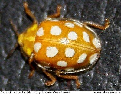 Orange Ladybird 16 Spot Ladybird Halyzia 16 Guttata