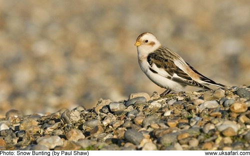 Snow Bunting by Paul Shaw