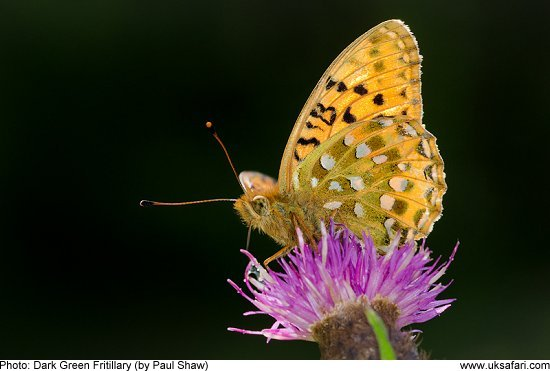 Dark Green Fritillary by Paul Shaw